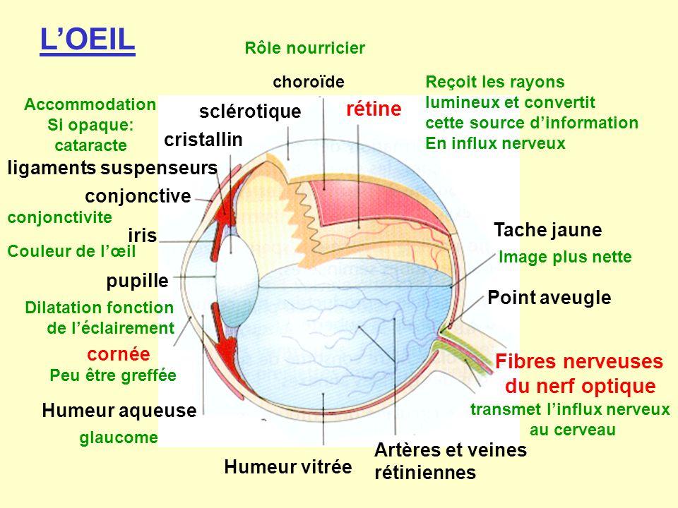 sclérotique choroïde Rôle nourricier rétine Reçoit les rayons lumineux et convertit cette source dinformation En influx nerveux Fibres nerveuses du ne