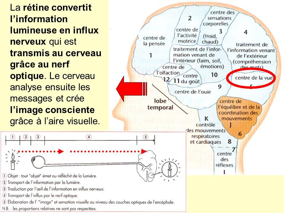 La rétine convertit linformation lumineuse en influx nerveux qui est transmis au cerveau grâce au nerf optique. Le cerveau analyse ensuite les message