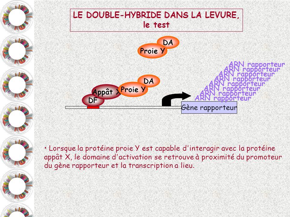DF Appât X DA Proie Y Lorsque la protéine proie Y est capable d'interagir avec la protéine appât X, le domaine d'activation se retrouve à proximité du