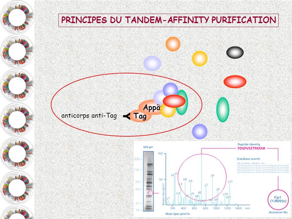 Tag Appât Y anticorps anti-Tag PRINCIPES DU TANDEM-AFFINITY PURIFICATION
