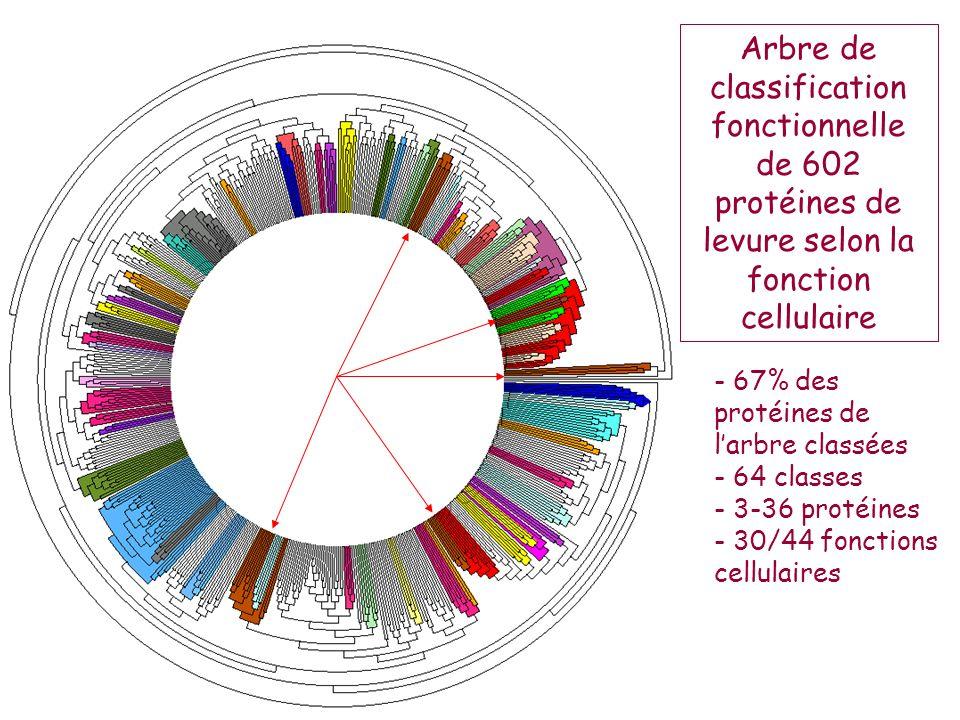 Arbre de classification fonctionnelle de 602 protéines de levure selon la fonction cellulaire - 67% des protéines de larbre classées - 64 classes - 3-