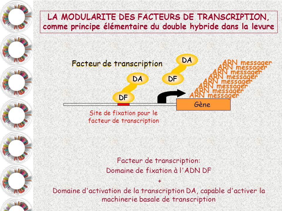 DF Appât X DA Proie Y Gène rapporteur LE DOUBLE-HYBRIDE DANS LA LEVURE, le test La protéine appât (dont on veut identifier les interacteurs) est fusionnée au domaine de fixation à l ADN DF d un facteur de transcription.