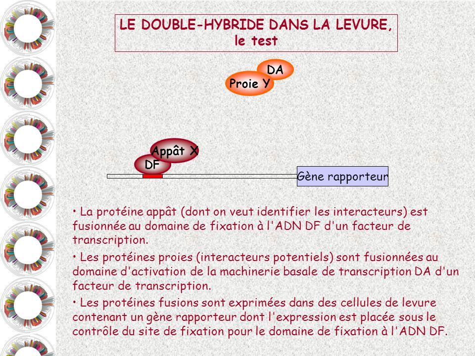 DF Appât X DA Proie Y Gène rapporteur LE DOUBLE-HYBRIDE DANS LA LEVURE, le test La protéine appât (dont on veut identifier les interacteurs) est fusio