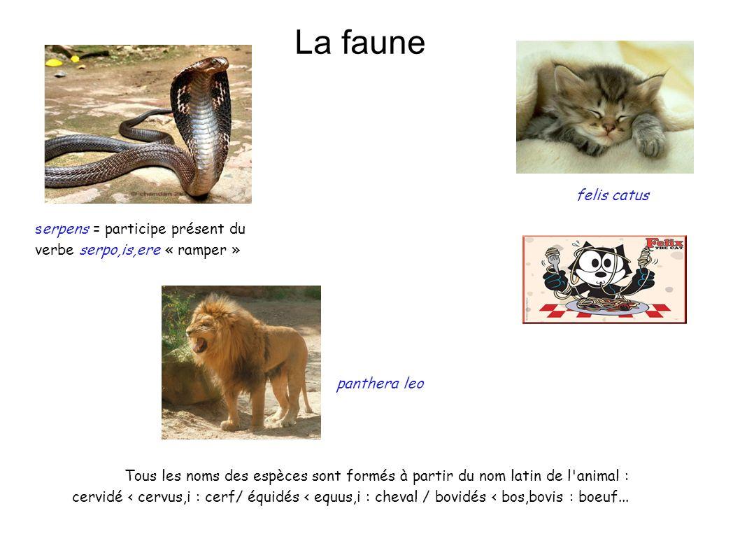 La faune panthera leo felis catus serpens = participe présent du verbe serpo,is,ere « ramper » Tous les noms des espèces sont formés à partir du nom l