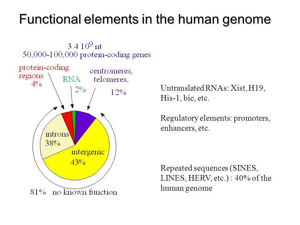 Prédiction ab initio de gènes eucaryotes Prédiction d exons codants Recherche de phases ouvertes de lecture (ORF: open reading frame) – Taille moyenne des exons: ± 150 nt Statistiques sur les nucléotides, usage des codons – Périodicité d ordre 3, fréquence d hexamères – Modèles de Markov cachés Signaux d épissage – Profils, modèles de Markov cachés, réseau neuronaux Construction d un modèle de gène protéique Combinaison d exons de phases compatibles (pondération en fonction des scores de chaque exon potentiel) Recherche de limites de gènes – Exons terminaux (5, 3 ) – Promoteur – Signal de polyadénylation Epissage alternatif ?.