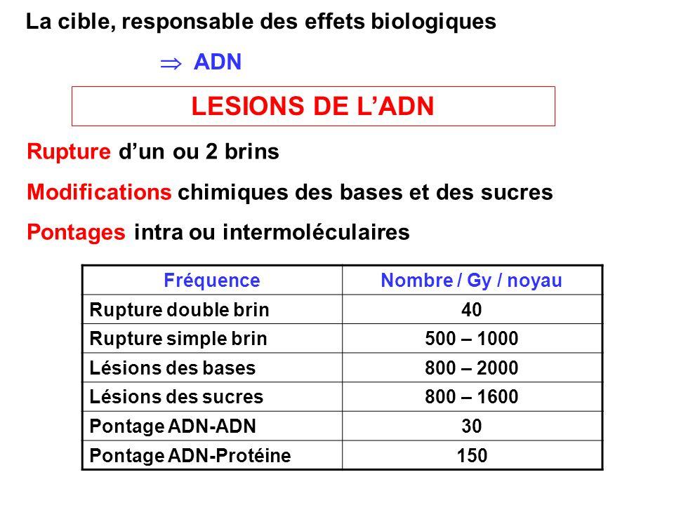 La cible, responsable des effets biologiques ADN LESIONS DE LADN Rupture dun ou 2 brins Modifications chimiques des bases et des sucres Pontages intra