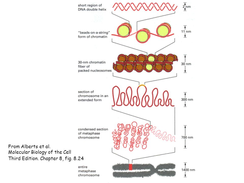 From Alberts et al. Molecular Biology of the Cell Third Edition. Chapter 8, fig. 8.24