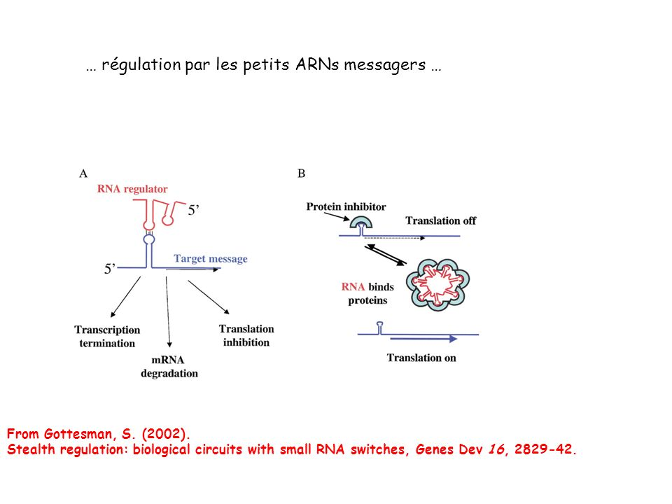 From Gottesman, S. (2002). Stealth regulation: biological circuits with small RNA switches, Genes Dev 16, 2829-42.