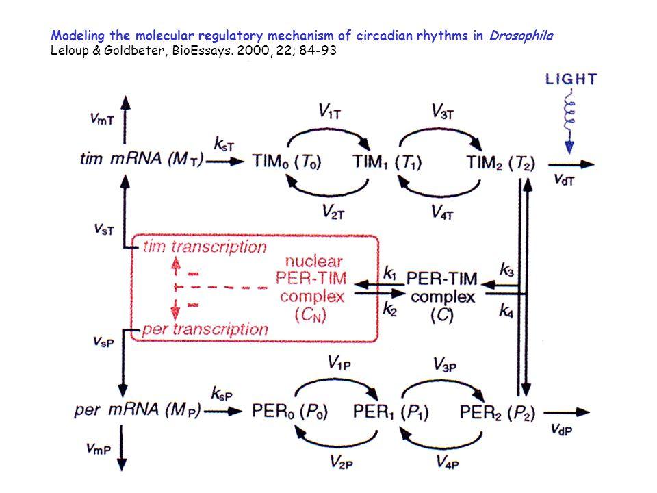 Modeling the molecular regulatory mechanism of circadian rhythms in Drosophila Leloup & Goldbeter, BioEssays. 2000, 22; 84-93