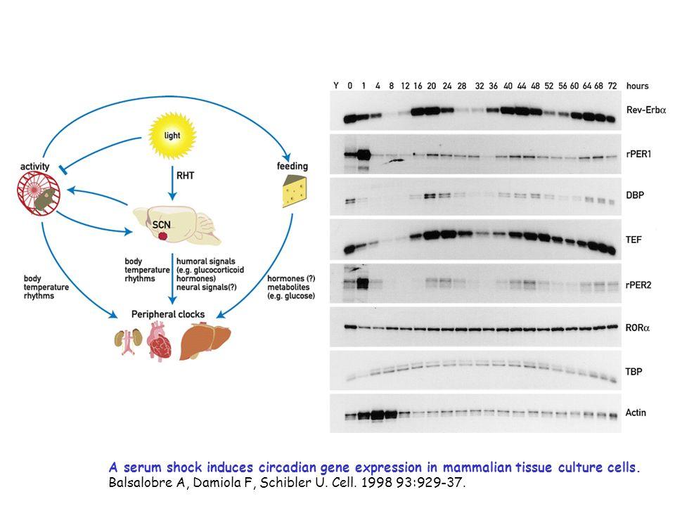 A serum shock induces circadian gene expression in mammalian tissue culture cells. Balsalobre A, Damiola F, Schibler U. Cell. 1998 93:929-37.