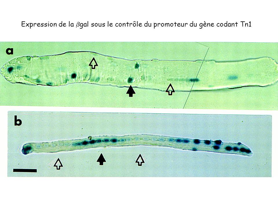 Expression de la gal sous le contrôle du promoteur du gène codant Tn1