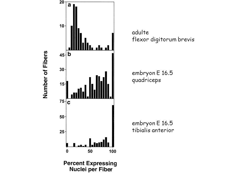 adulte flexor digitorum brevis embryon E 16.5 quadriceps embryon E 16.5 tibialis anterior
