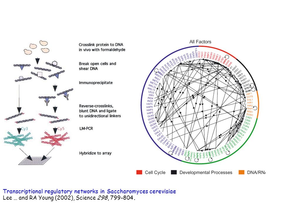 Transcriptional regulatory networks in Saccharomyces cerevisiae Lee … and RA Young (2002), Science 298, 799-804.