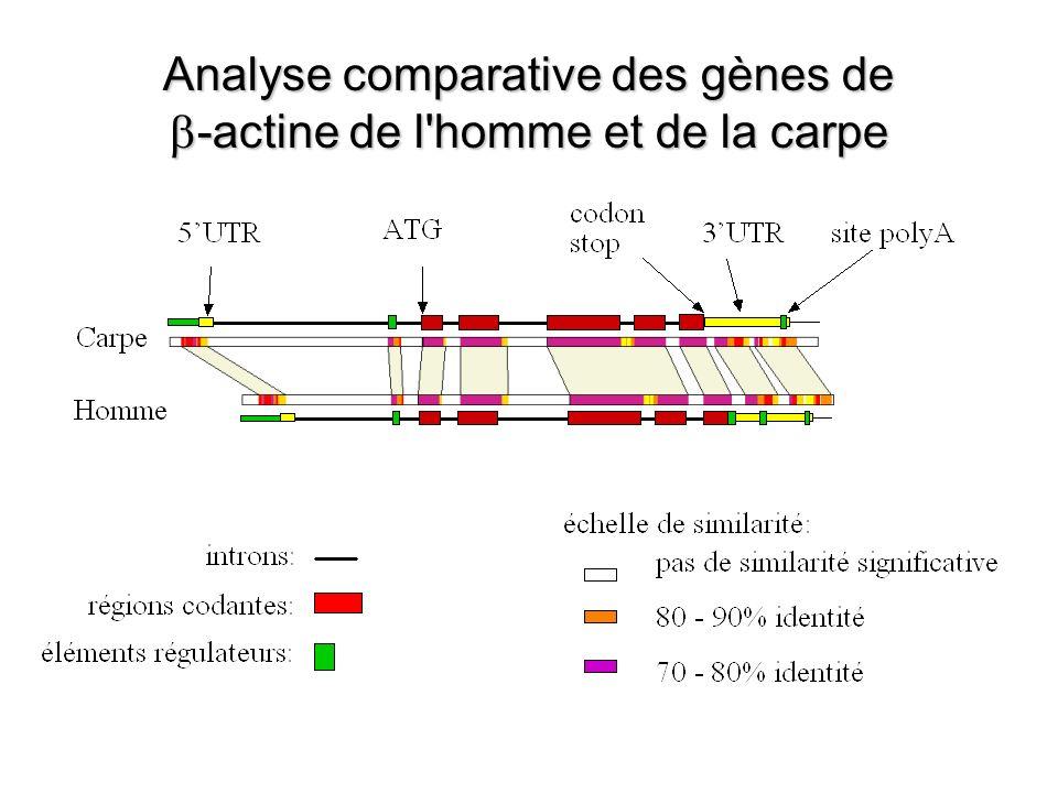 Analyse comparative des gènes de -actine de l homme et de la carpe