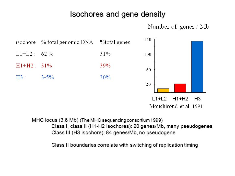 Isochores and gene density MHC locus (3.6 Mb) (The MHC sequencing consortium 1999) Class I, class II (H1-H2 isochores): 20 genes/Mb, many pseudogenes Class III (H3 isochore): 84 genes/Mb, no pseudogene Class II boundaries correlate with switching of replication timing