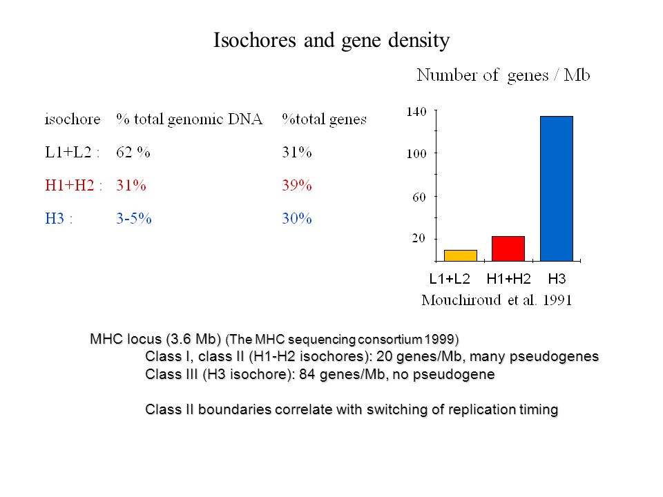 Isochores and gene density MHC locus (3.6 Mb) (The MHC sequencing consortium 1999) Class I, class II (H1-H2 isochores): 20 genes/Mb, many pseudogenes