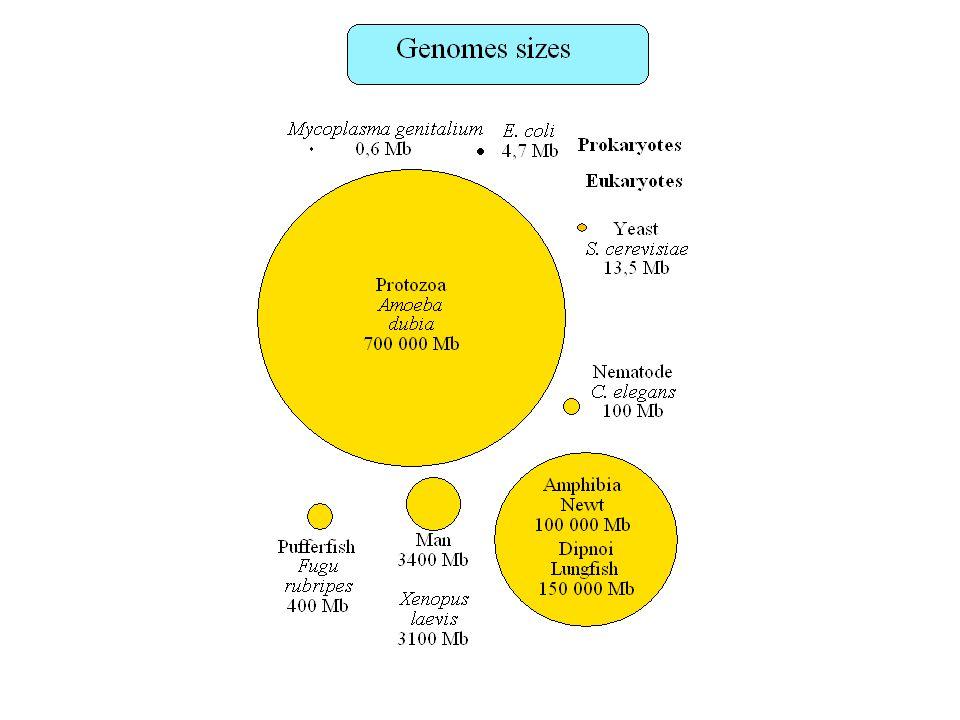 Prédiction de promoteurs eucaryotes Combinaison de sites de fixation de facteur de transcription (ordre, orientation, distance) Motifs courts, dégénérés –Difficile de distinguer les vrais sites des faux positifs: –Motif à 4 bases: 1/256 pb (1/128 pb sur les deux brins) Boîtes TATA, CAAT, GC: absents dans beaucoup de promoteurs Banques de données de sites de fixation de facteurs de transcription (TRANSFAC), de promoteurs caractérisés expérimentalement (EPD) PromoterScan (Prestridge 1995) : Mesure de la densité en sites potentiels de fixation de facteurs de transcription de long de la séquence (pondération en fonction de la fréquence des sites dans ou en dehors des vrais promoteurs)