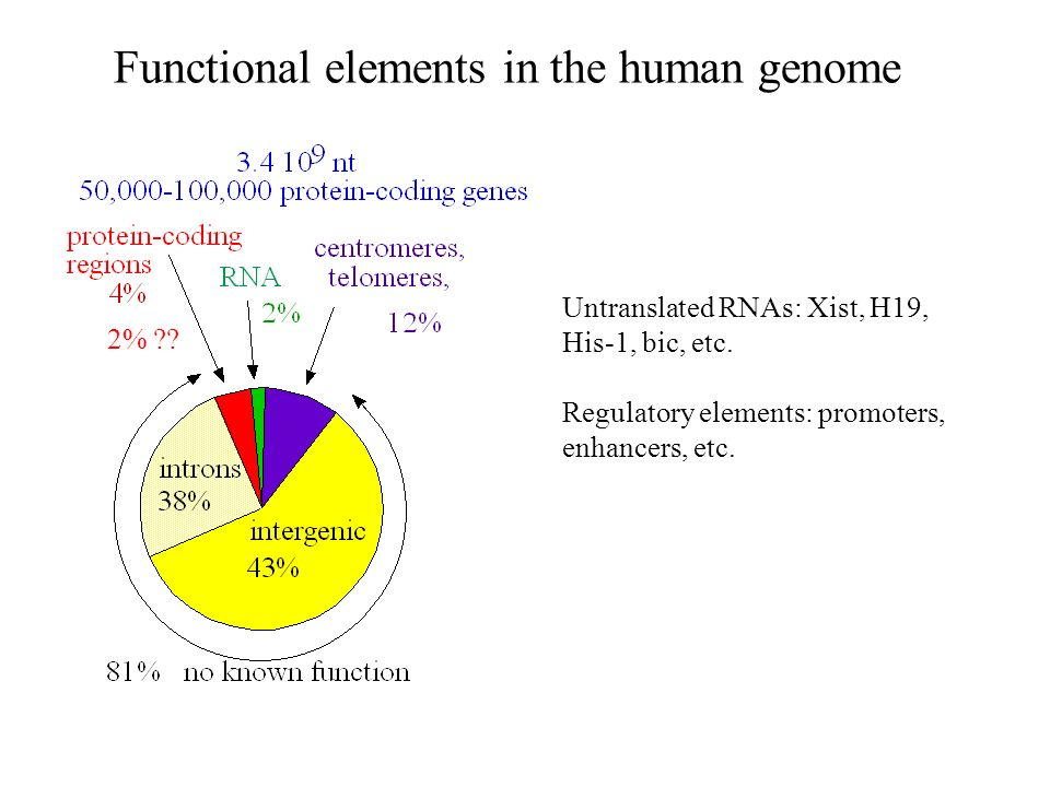 Functional elements in the human genome Untranslated RNAs: Xist, H19, His-1, bic, etc. Regulatory elements: promoters, enhancers, etc. 2% ??