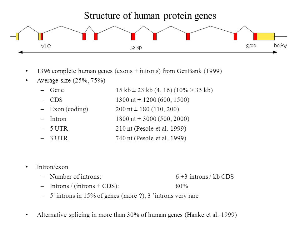 Structure of human protein genes 1396 complete human genes (exons + introns) from GenBank (1999) Average size (25%, 75%) –Gene15 kb ± 23 kb (4, 16) (1