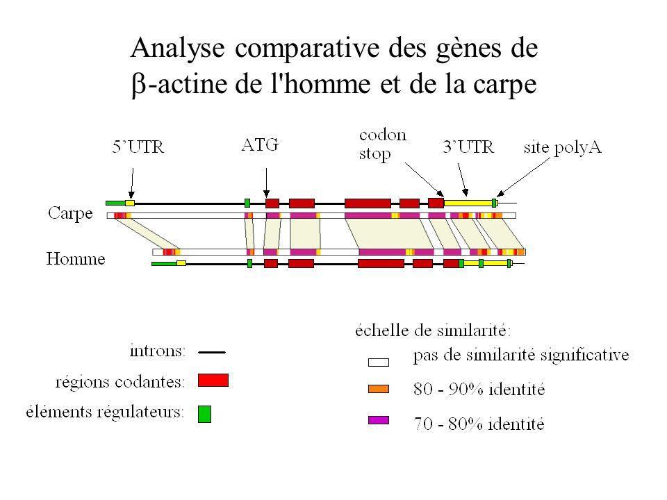Analyse comparative des gènes de -actine de l'homme et de la carpe