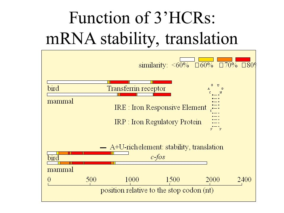 Function of 3HCRs: mRNA stability, translation