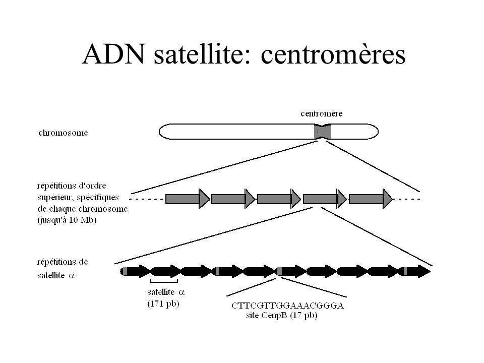 ADN satellite: centromères