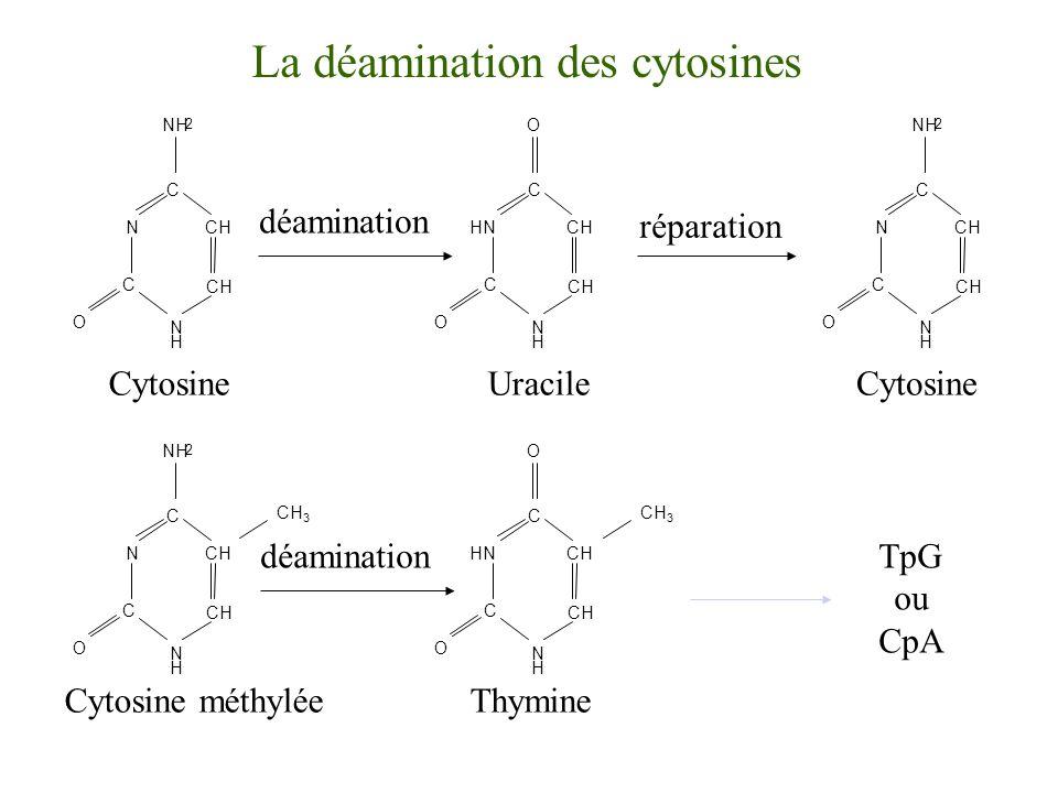 La déamination des cytosines Cytosine N C CH C N H NH 2 O CH réparation Cytosine N C CH C N H NH 2 O CH Cytosine méthylée N C CH C N H NH 2 O CH CH 3