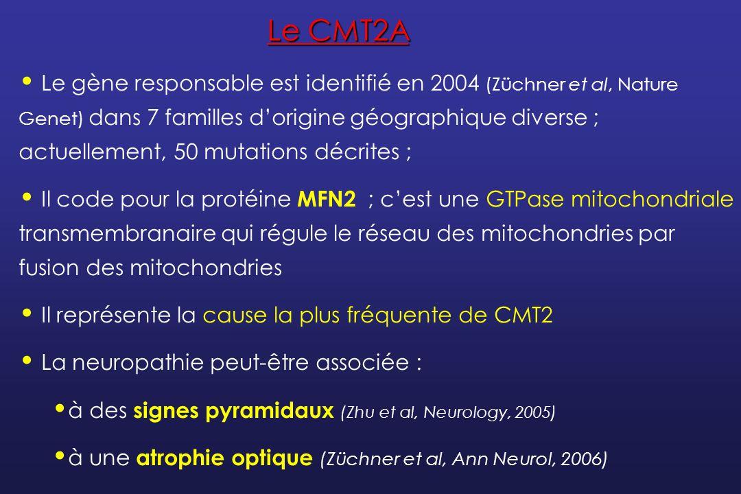 RéférenceNb PatientsAge de débutÉvolutionParticularités Muglia et al JNNP 2008 101 – 5 décennieVariableClinique et ENMG normaux chez une de 70 ans porteuse de la mutation Chung et al Brain 2006 26 24% des familles CMT2 testées 1 – 50 ansSévère (début < 10 ans) Bénigne à modérée (début > 10 ans) Atrophie optique (3) Hypoacousie (3) Voix rauque (2) Engelfried et al, BMC Med Genet 2006 6 8% des individus testés Enfance à 62 ans Non précisée_ Verhoeven et al Brain 2006 29 11% des familles CMT2 testées 1 à 45 ansSévérité du phénotype liée à lâge de début 28% en FR Atrophie optique (3) Hypoacousie (1) Kijima et al Hum Genet 2005 7/81 patients avec CMT2 ou non classé 10 ansNon précisée_ Lawson et al Neurology 2005 23 23% des familles CMT2 testées 5 – 28 ansNon précisée_ Mutations de MFN2 : les grandes séries
