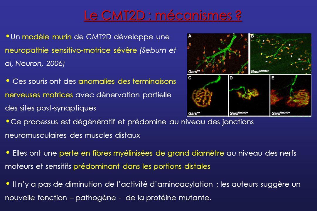 Le CMT2F Il est localisé sur le chromosome 7q11-q21 Le gène responsable, HSPB1, est identifié en 2004 (Evgarov et al, Nature Genet) Il code pour la protéine HSP27 (small heat-shock protein 27) 5 mutations faux sens sont trouvées : 1 famille avec CMT2 4 familles avec dHMN Les lignées cellulaires neuronales transfectées avec des protéines HSP27 mutées ont une viabilité diminuée ; les cotransfections HSP27 mutée et NF-L WT perturbent lassemblage des neurofilaments.