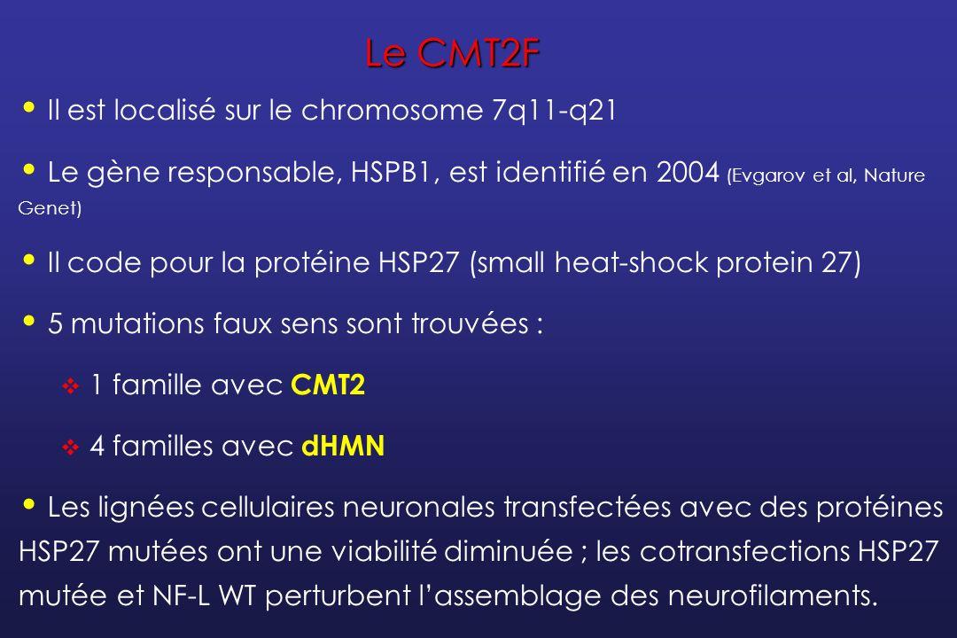 Le CMT2L Il est localisé sur le chromosome 12q24.3 Le gène responsable, HSPB8, est identifié en 2004 (Irobi et al, Nature Genet) Il code pour la protéine HSP22 (small heat-shock protein 22) 2 mutations décrites (2 familles dHMN, 1 famille CMT2) En culture, les protéines HSP22 mutées favorisent la formation dagrégats cellulaires.