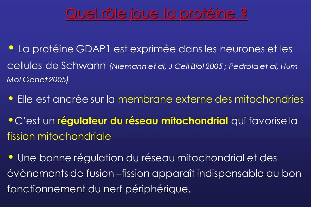 Protéines de la myéline périphérique : PMP22, MPZ/P0, Cx32 Protéines du cytosquelette axonal : NF-L Protéines impliquées dans la synthèse, le triage, la dégradation : DNM2, SIMPLE, GARS Protéines impliquées dans la dynamique mitochondriale : MFN2, GDAP1 Facteur de transcription : EGR2 La diversité des processus physiopathologiques