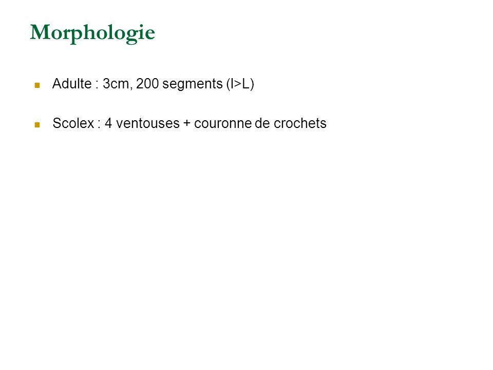 Morphologie Adulte : 3cm, 200 segments (l>L) Scolex : 4 ventouses + couronne de crochets
