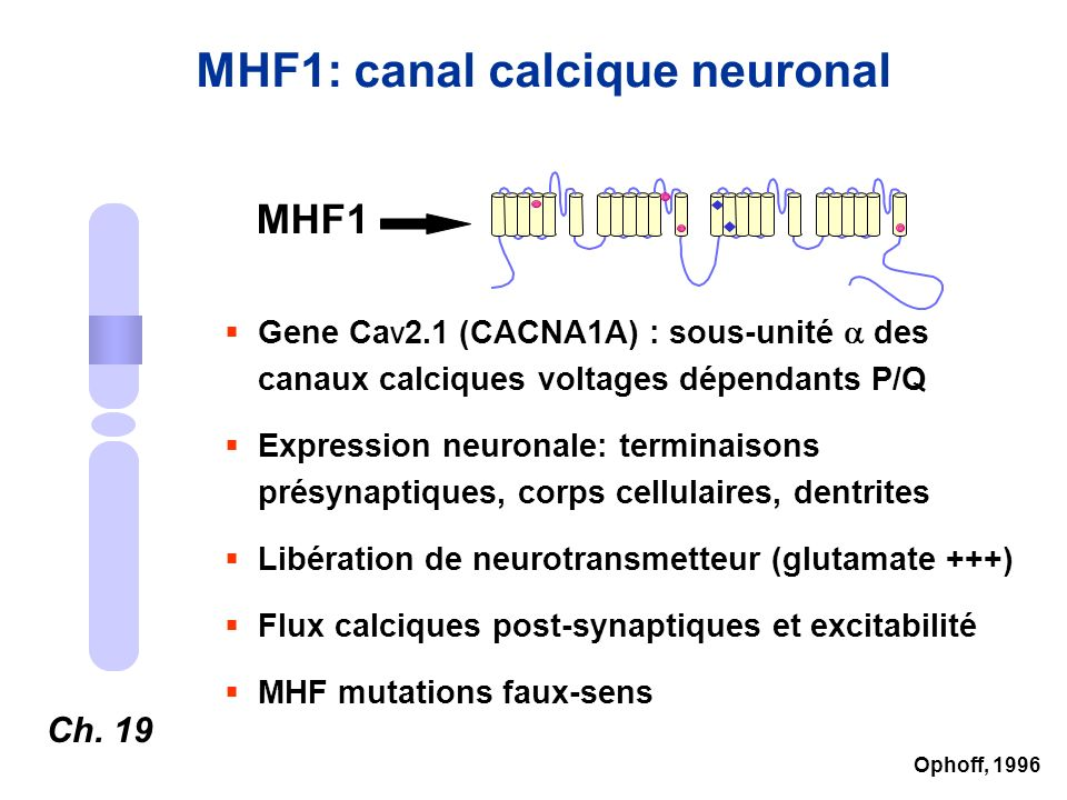MHF1: canal calcique neuronal Ch. 19 MHF1 Gene Ca V 2.1 (CACNA1A) : sous-unité des canaux calciques voltages dépendants P/Q Expression neuronale: term