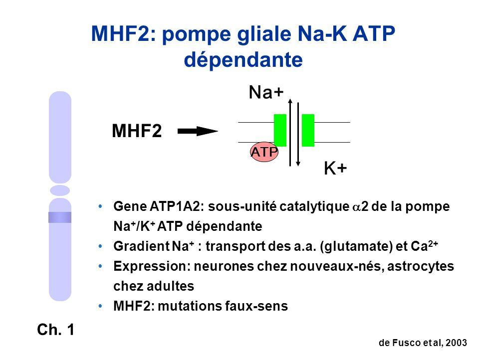 MHF2: pompe gliale Na-K ATP dépendante Ch. 1 MHF2 Na+ K+ ATP Gene ATP1A2: sous-unité catalytique 2 de la pompe Na + /K + ATP dépendante Gradient Na +