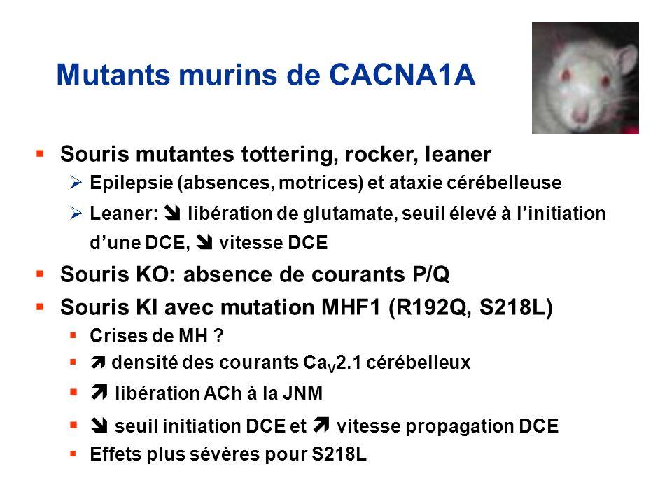 Mutants murins de CACNA1A Souris mutantes tottering, rocker, leaner Epilepsie (absences, motrices) et ataxie cérébelleuse Leaner: libération de glutam