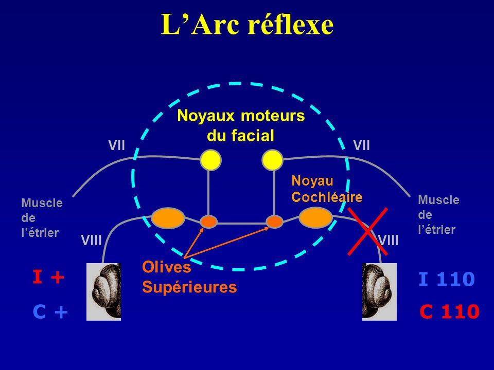 LArc réflexe Noyaux moteurs du facial Olives Supérieures I 110 C 110 I + C + Muscle de létrier Muscle de létrier Noyau Cochléaire VIII VII