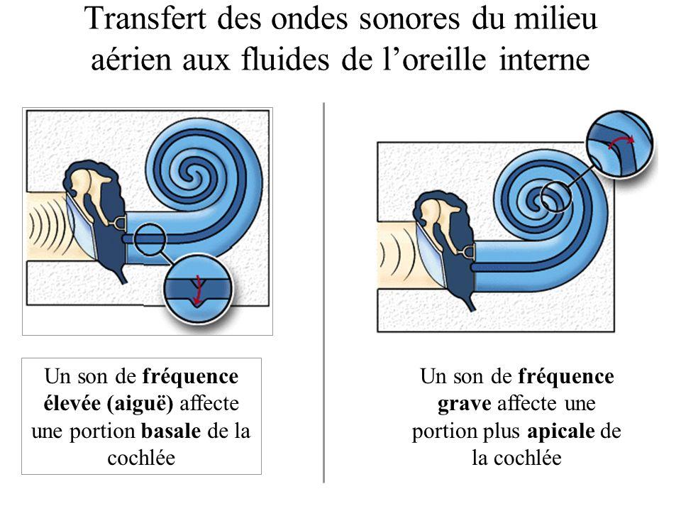 Transfert des ondes sonores du milieu aérien aux fluides de loreille interne Un son de fréquence élevée (aiguë) affecte une portion basale de la cochlée Un son de fréquence grave affecte une portion plus apicale de la cochlée