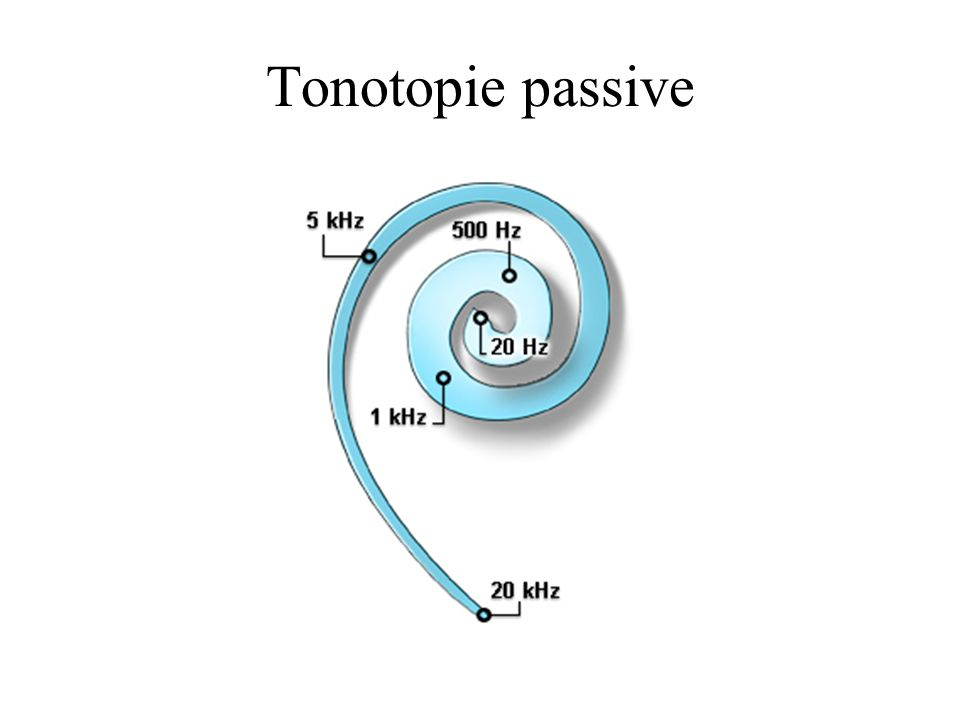 Tonotopie passive