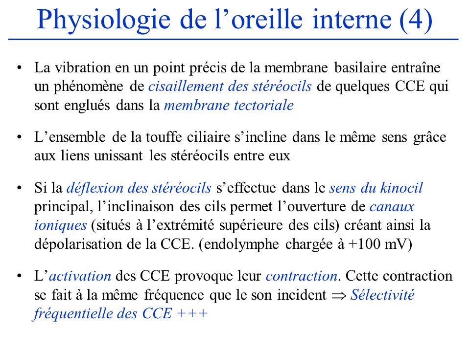 Physiologie de loreille interne (4) La vibration en un point précis de la membrane basilaire entraîne un phénomène de cisaillement des stéréocils de q