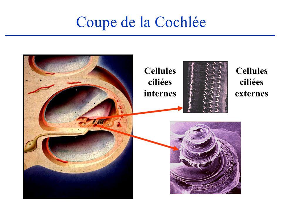 Cellules ciliées externes Cellules ciliées internes Coupe de la Cochlée