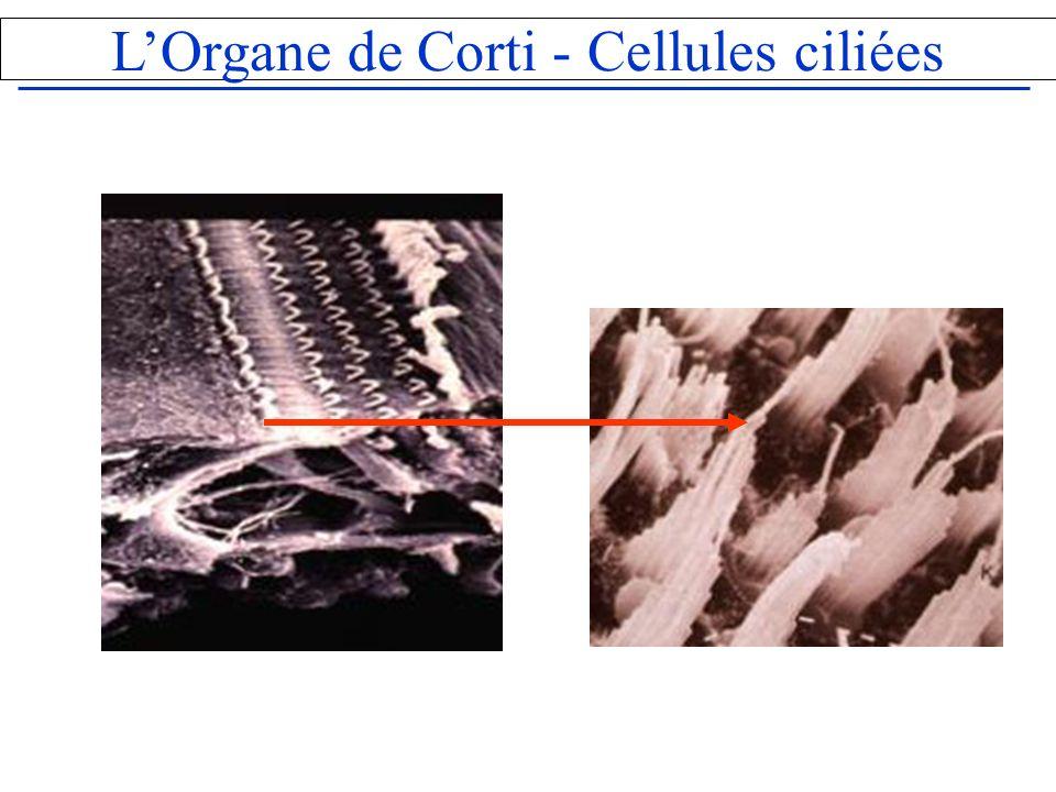 LOrgane de Corti - Cellules ciliées