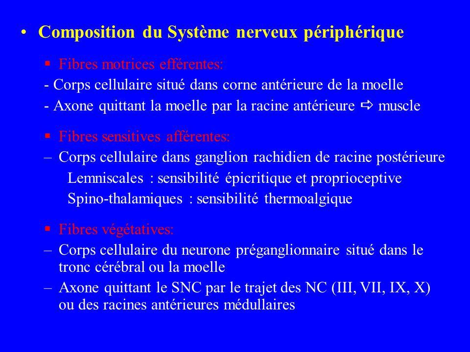Composition du Système nerveux périphérique Fibres motrices efférentes: - Corps cellulaire situé dans corne antérieure de la moelle - Axone quittant l