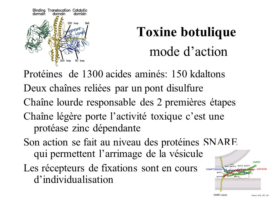 Toxine botulique mode daction Protéines de 1300 acides aminés: 150 kdaltons Deux chaînes reliées par un pont disulfure Chaîne lourde responsable des 2