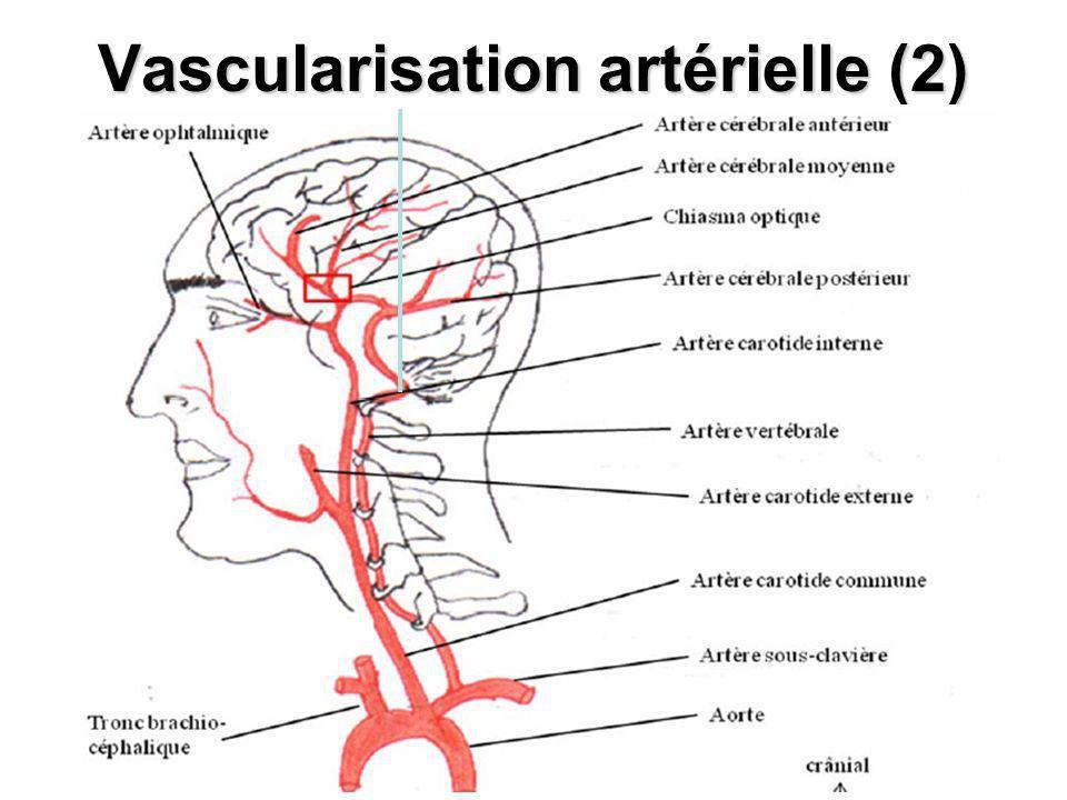 Vascularisation artérielle (2)