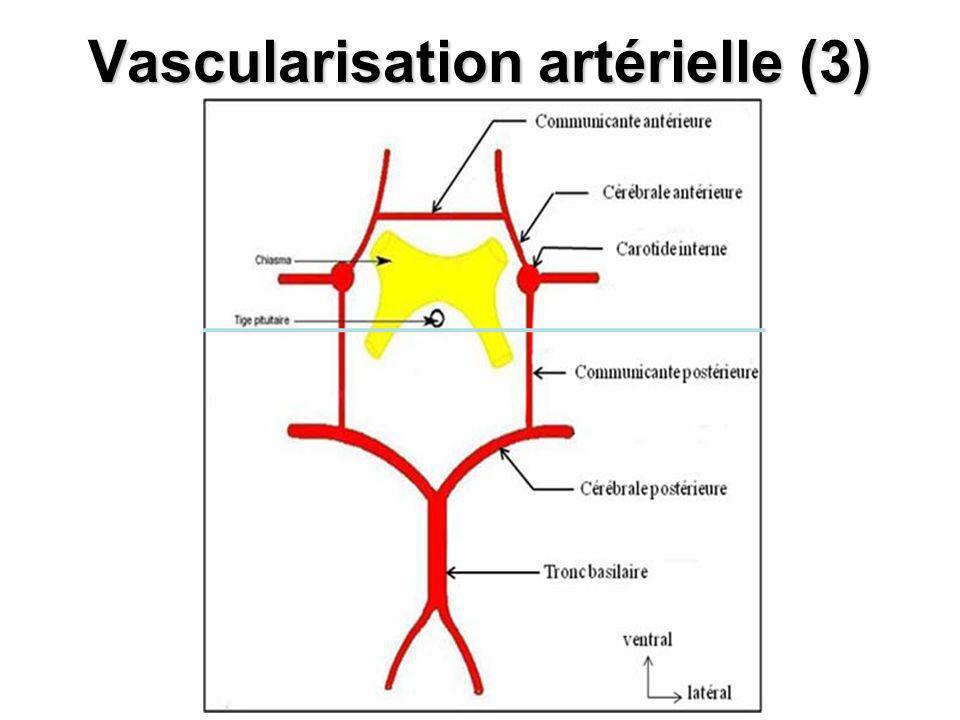 Vascularisation artérielle (3)