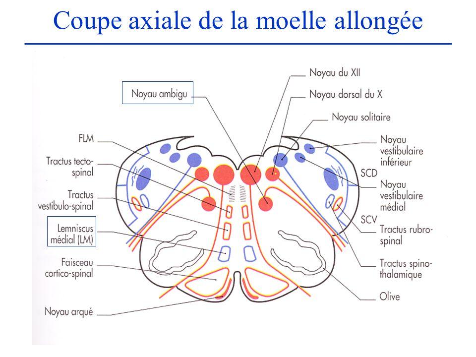 Coupe axiale de la moelle allongée