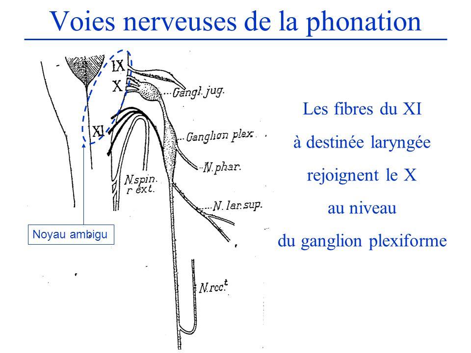 Voies nerveuses de la phonation Les fibres du XI à destinée laryngée rejoignent le X au niveau du ganglion plexiforme Noyau ambigu