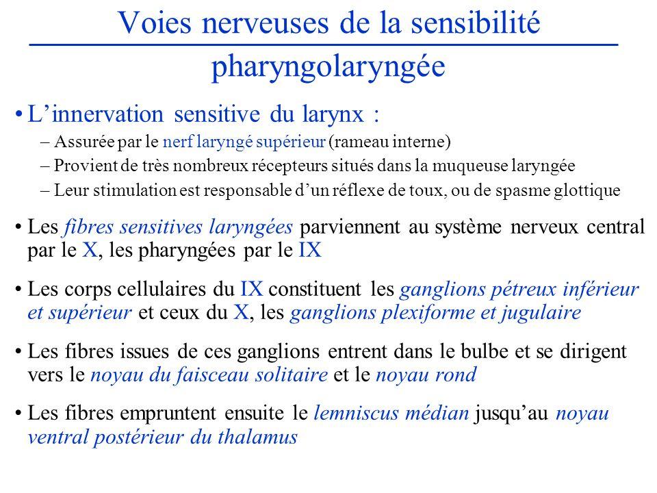 Voies nerveuses de la sensibilité pharyngolaryngée Linnervation sensitive du larynx : –Assurée par le nerf laryngé supérieur (rameau interne) –Provien
