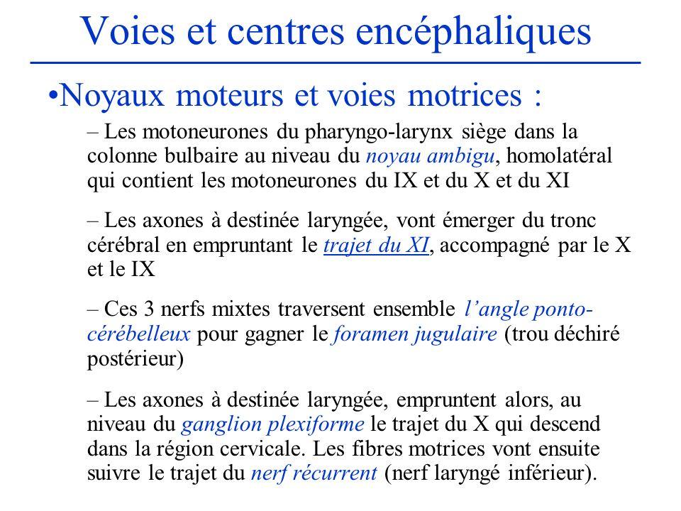 Voies et centres encéphaliques Noyaux moteurs et voies motrices : – Les motoneurones du pharyngo-larynx siège dans la colonne bulbaire au niveau du no