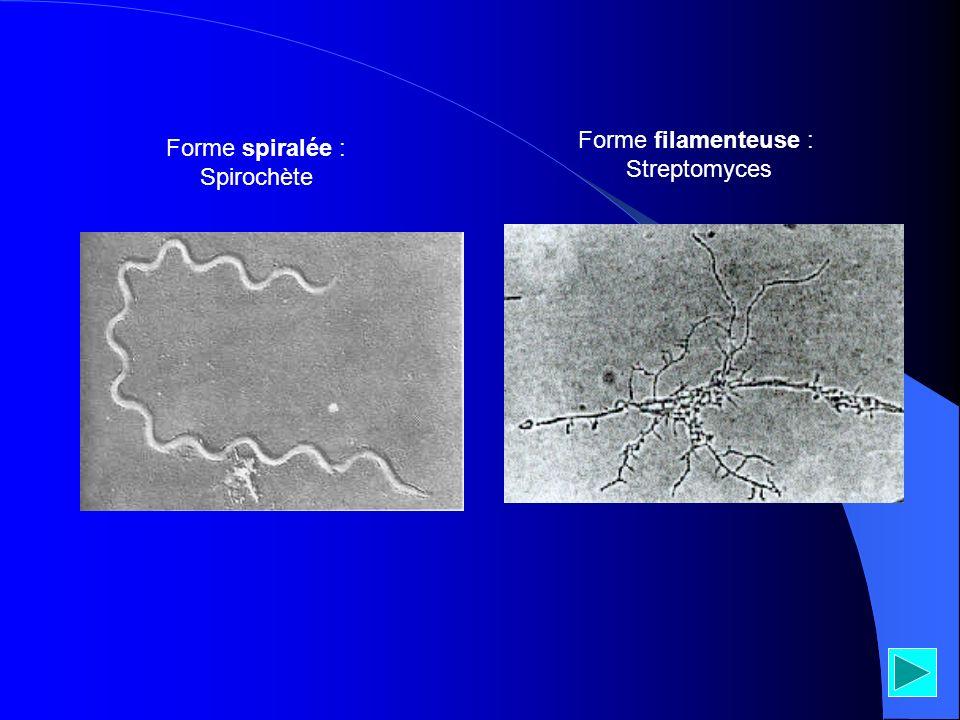 Forme spiralée : Spirochète Forme filamenteuse : Streptomyces